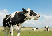 cow in a blue sky